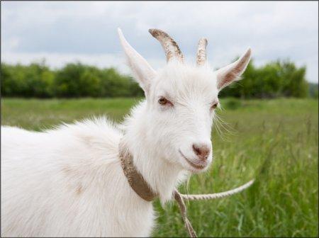 В Южном Техасе от сибирской язвы погибла коза